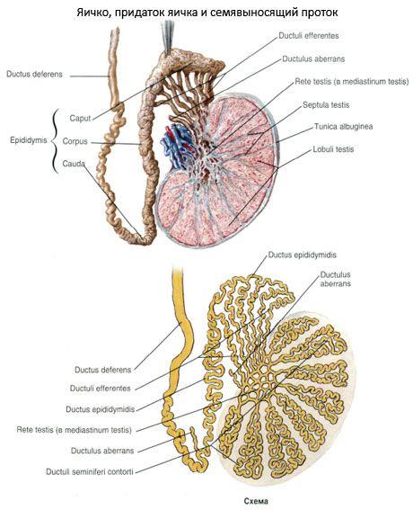 sėklidžių ir varpos struktūra